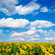 Sunflower field — Stock Photo #2184832