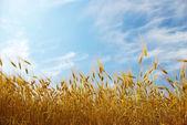 Wheats field — Stock Photo
