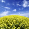 Rape field - Foto Stock