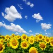 Sunflower field — Stock Photo #2339514