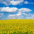 Sunflower field — Stock Photo #2339576