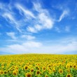 Sunflower field — Stock Photo #2489543