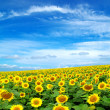 Sunflower field — Stock Photo #2489545