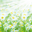 Camomile — Stock Photo #2630623
