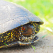 Wild Turtle — Stock Photo
