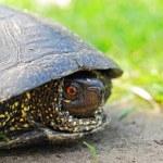 Wild turtle — Stock Photo #1007991