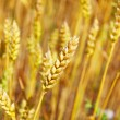 Wheat — Stock Photo #1009130