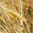 wheat — Stock Photo #1009278