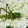 Locust — Stock Photo #1009342
