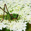 Locust — Stock Photo #1009349