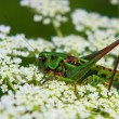 Royalty-Free Stock Photo: Locust