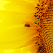 Sunflower and Ladybird — Stock Photo