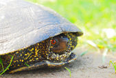 Volně žijící želva — Stock fotografie