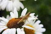 蚱蜢 — 图库照片