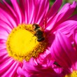 Flower and bee — Stock Photo #1010251