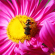 Flower and bee — Stock Photo #1010260