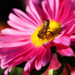 Flower and bee — Stock Photo #1010272