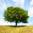 Lonely tree — Stock Photo #2323462