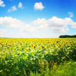 Sunflower field — Stock Photo #2489218
