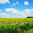 Sunflower field — Stock Photo #2489562