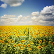 Sunflower field — Stock Photo #2489960