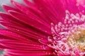 Gerbera flower closeup on white backgro — Stock Photo