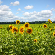 Sunflower field — Stock Photo #2490225