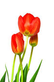 Beautiful tulip isolated on white backgr — Stock Photo