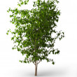 Ficus benjamina.Java tree isolated — Foto de Stock
