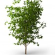 Ficus benjamina.Java tree isolated - Stock Photo