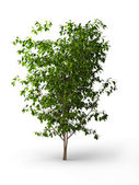 Ficus benjamina.Java tree isolated — Stock Photo