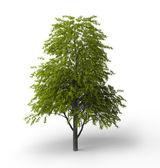 Tilia cordata broadleaf tree — Stock Photo