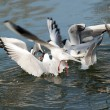 GUlls hunting — Stock Photo
