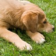 Tired Puppy on Grass — Stock Photo