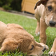 Two puppies playing — Stock Photo