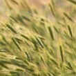 Royalty-Free Stock Photo: Wheat Ears in Field