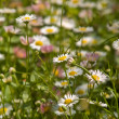Camomile meadow Close-up - Stock Photo