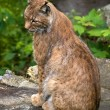 Lynx in Natural Environment — Stock Photo