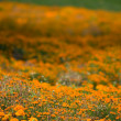 Royalty-Free Stock Photo: Marigold meadow