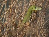 Lizard resting — Stock Photo