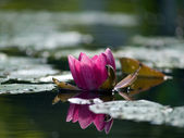 Pink Lotus in pond — Stock Photo