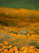 Marigold meadow — Stock Photo