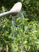 Watering a plant — Stock Photo