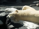 Polar bear sleeping — Stock Photo