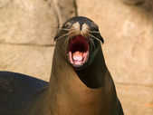 Crying sea lion — Stock Photo