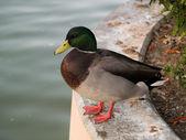 Duck sitting near pond — Stockfoto