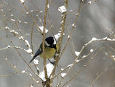 Titmouse on twig — Stock Photo