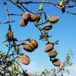 Branch of  the almond — Stock Photo