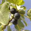 Royalty-Free Stock Photo: The  black figs on the branch