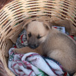 Royalty-Free Stock Photo: Puppy in the basket
